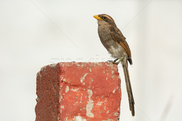Yellow-billed shrike (Corvinella corvina) Stock photo © davemontreuil