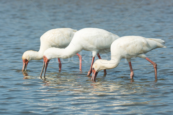 Three African Spoonbills searching for food in unison Stock photo © davemontreuil