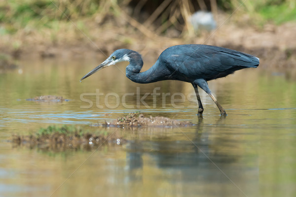 западной цапля охота пруд синий ходьбе Сток-фото © davemontreuil