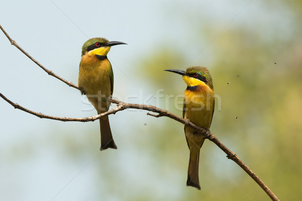 2 Little-Bee Eaters (Merops pusillus) surrounded by tiny flies Stock photo © davemontreuil