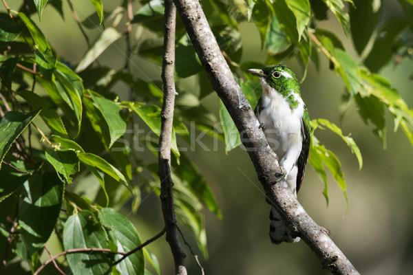 Koekoek mannelijke boom natuur afrika dier Stockfoto © davemontreuil