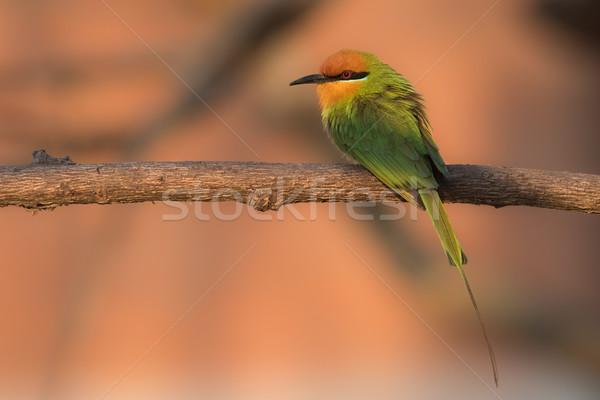 ストックフォト: 座って · 早朝 · 太陽 · 鳥 · アフリカ · 蜂