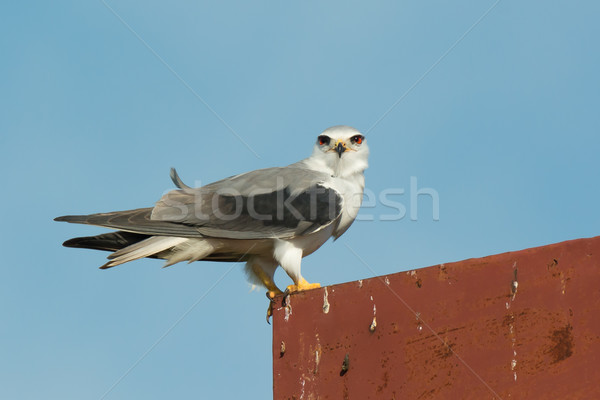 Black-Shouldered Kite staring Stock photo © davemontreuil