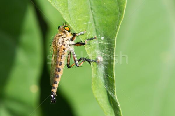 Büyük soyguncu uçmak Afrika güzel böcek Stok fotoğraf © davemontreuil