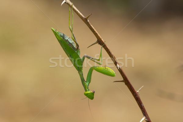 Leaf-Shaped Praying Mantis Stock photo © davemontreuil