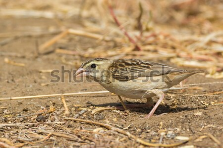 Stock photo: Northern Red Bishop searching for seeds on the ground