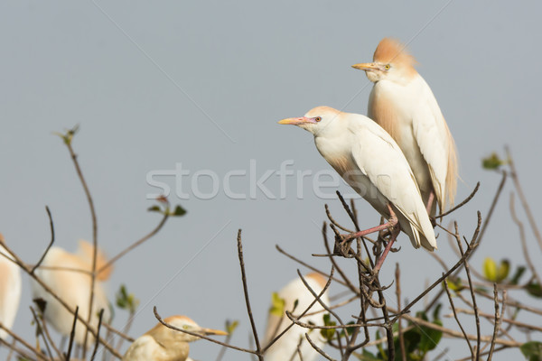2 Cattle Egrets (Bubulcus ibis) perched in a nesting colony Stock photo © davemontreuil