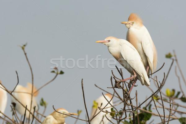 Vee kolonie paar afrika witte kleuren Stockfoto © davemontreuil