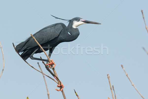 A Western Reef Heron (Egretta gularis) perched at the top of a m Stock photo © davemontreuil