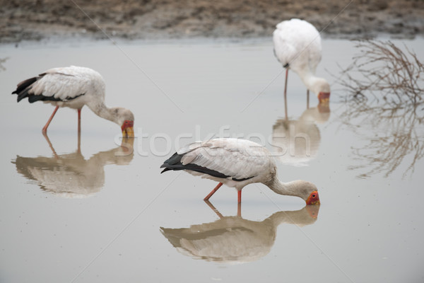 3 Yellow-billed storks (Mycteria ibis) foraging in a waterhole Stock photo © davemontreuil