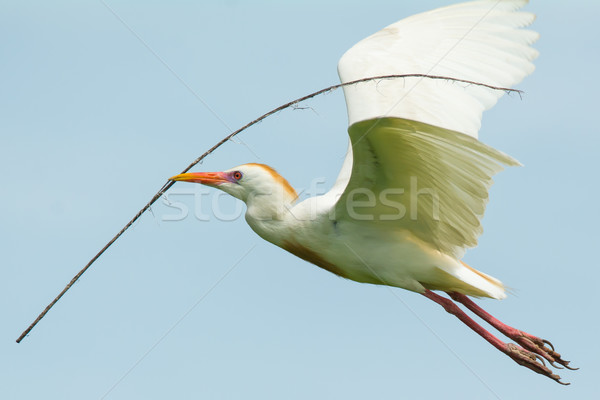 Cattle Egret in flight Stock photo © davemontreuil