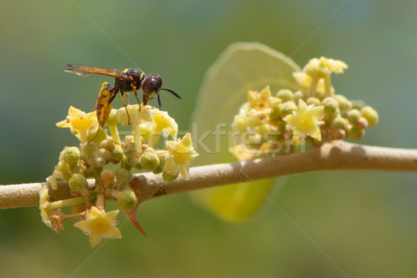 A Bee from West Africa with Small Yellow Flowers Stock photo © davemontreuil