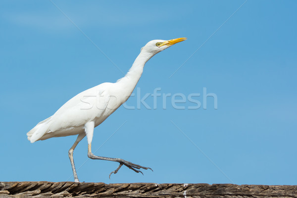 Cattle Egret walking on a wharf Stock photo © davemontreuil