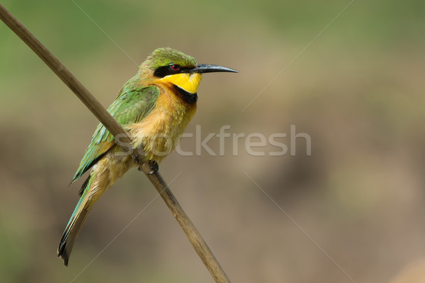A Little-Bee Eater (Merops pusillus) looking a touch grumpy Stock photo © davemontreuil