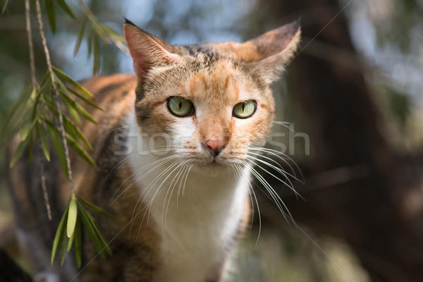 Portrait of a Tri colored house cat Stock photo © davemontreuil