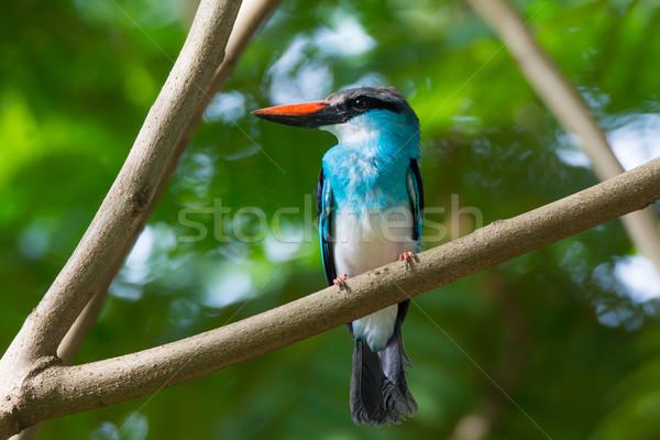 Eisvogel blau Vögel Afrika Gambia Stock foto © davemontreuil