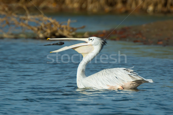 Pink-Backed Pelican tossing a fish Stock photo © davemontreuil