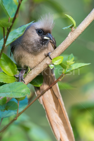 Speckled mousebird (Colius striatus) peeking through the leaves Stock photo © davemontreuil