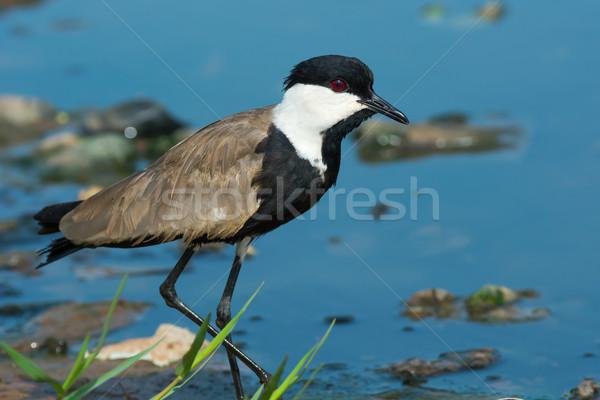 Kıyı ayakta su kuş Stok fotoğraf © davemontreuil