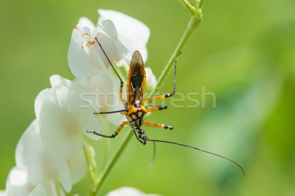 Sarı siyah beyaz katil böcek batı Afrika Stok fotoğraf © davemontreuil