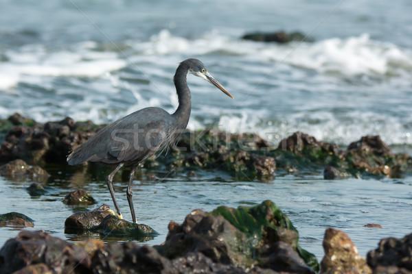 Ocidental garça-real rochas água oceano azul Foto stock © davemontreuil