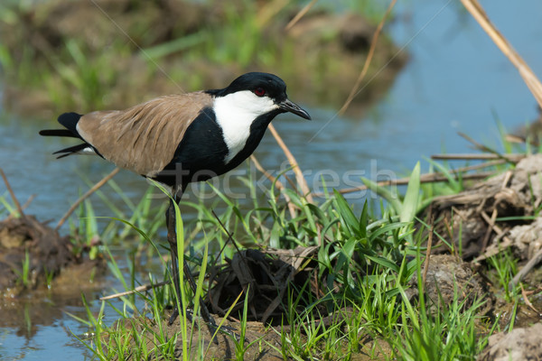 Spur-Winged Plover (Vanellus Spinosus) alert on a grassy bank Stock photo © davemontreuil