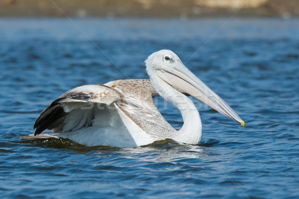 Pink-backed Pelican swimming with its wing raised Stock photo © davemontreuil