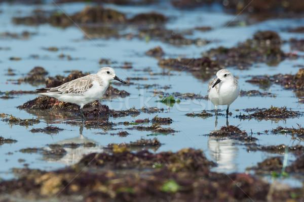 Stałego wodorost plaży wody żywności morza Zdjęcia stock © davemontreuil