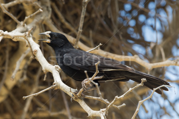 White-billed Buffalo Weaver (Bubalornis albirostris) calling nea Stock photo © davemontreuil