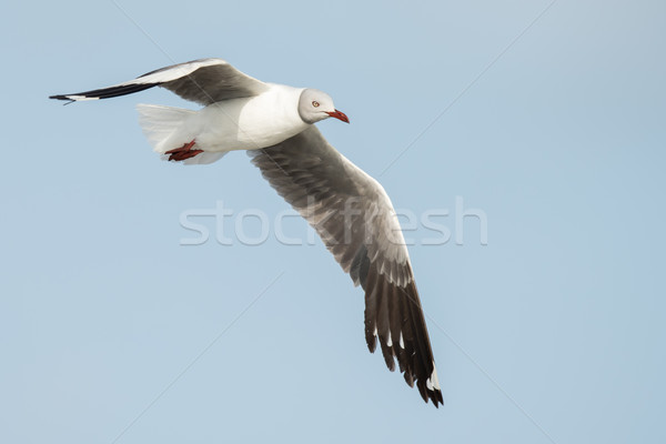 A Grey-Headed Gull (Larus cirrocephalus) in flight Stock photo © davemontreuil