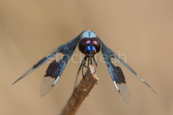 Male Portia Widow Dragonfly - Palpopleura portia Stock photo © davemontreuil