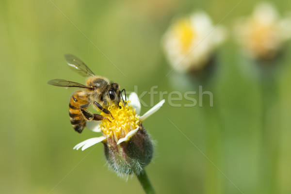 A Bee on a small flower Stock photo © davemontreuil