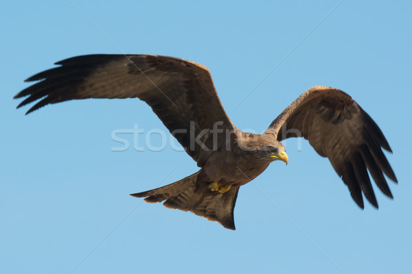 Black Kite (Milvus migrans) in flight Stock photo © davemontreuil