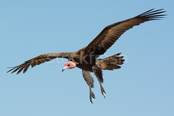 гриф полет пляж Африка крыльями Сток-фото © davemontreuil