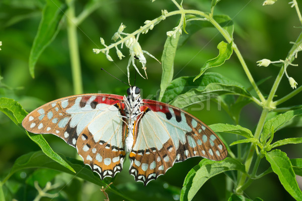 White Lady Swallowtail Butterfly caught by a Crab Spider Stock photo © davemontreuil