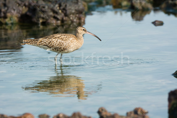 Whimbrel reflected in the tidal pools Stock photo © davemontreuil