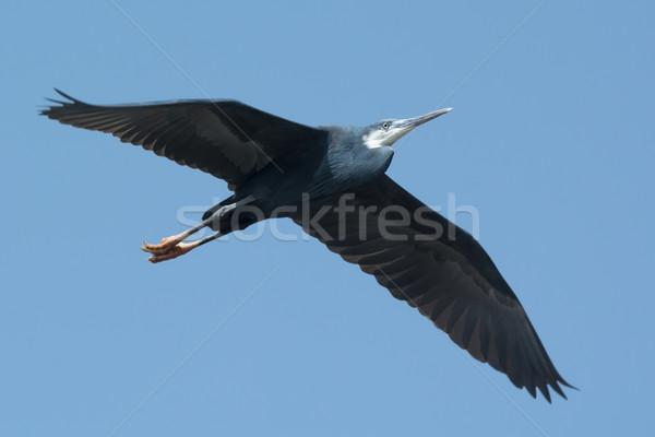 西部 鷺 飛行 青 アフリカ 美しい ストックフォト © davemontreuil