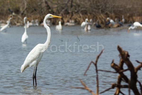 Great White Egret posing before many wading shore birds Stock photo © davemontreuil