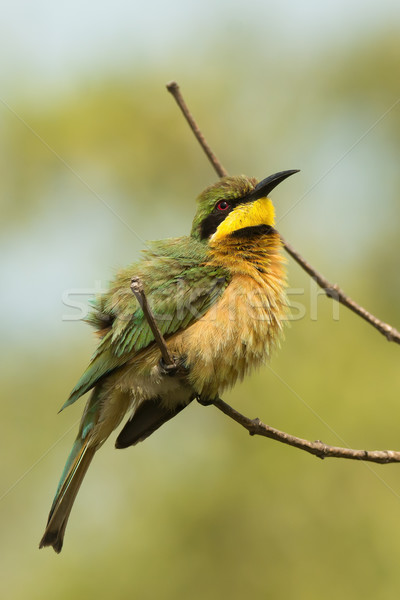 A Little-Bee Eater (Merops pusillus) with ruffled feathers Stock photo © davemontreuil