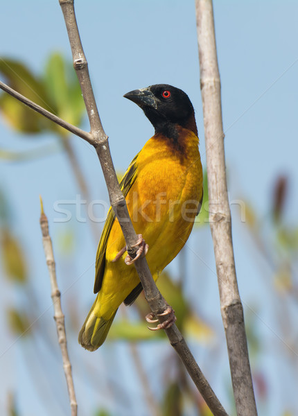 Male Village Weaver (Ploceus cucullatus) in the mangroves Stock photo © davemontreuil