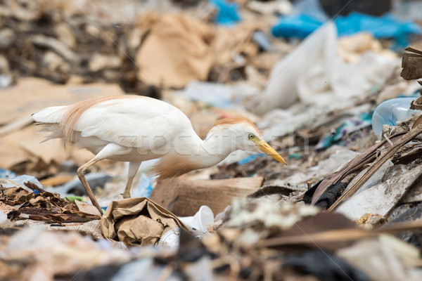 A Cattle Egret (Bubulcus ibis) searching a dump for flies and ma Stock photo © davemontreuil