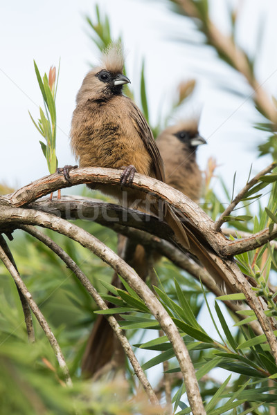 Speckled mousebird (Colius striatus) pair perched on a curved br Stock photo © davemontreuil