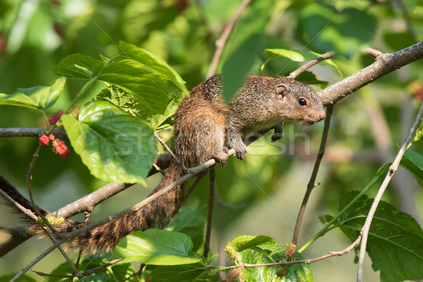 Smith's bush squirrel (Paraxerus cepapi) searching for ripe be Stock photo © davemontreuil