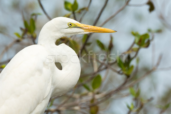 Portrait of a Great White Egret (Egretta alba) Stock photo © davemontreuil