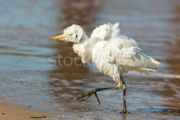 A Wildly Fluffy Cattle Egret Stock photo © davemontreuil