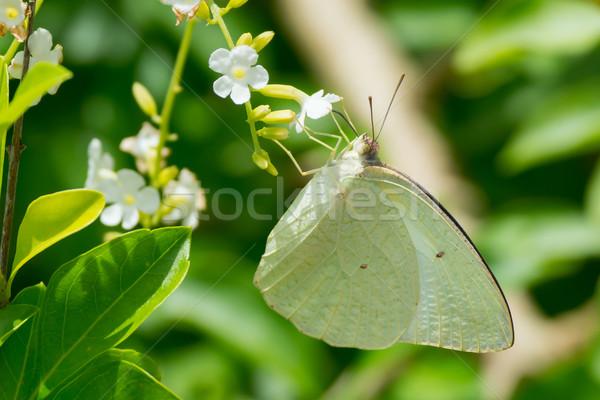 Biały Motyl pitnej nektar Zdjęcia stock © davemontreuil
