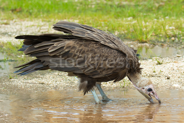 Hooded Vulture Stock photo © davemontreuil