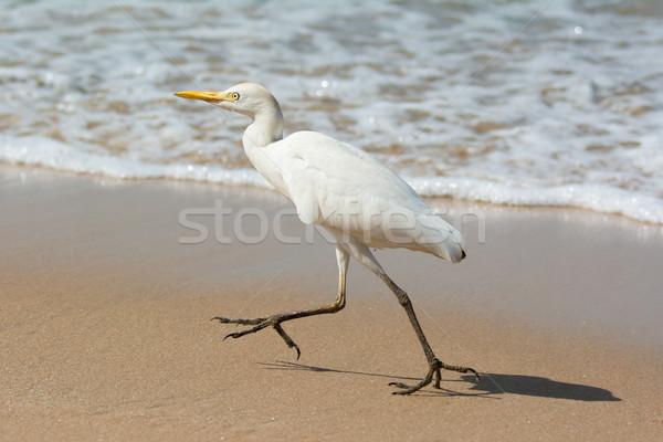 Cattle Egret running on the beach Stock photo © davemontreuil