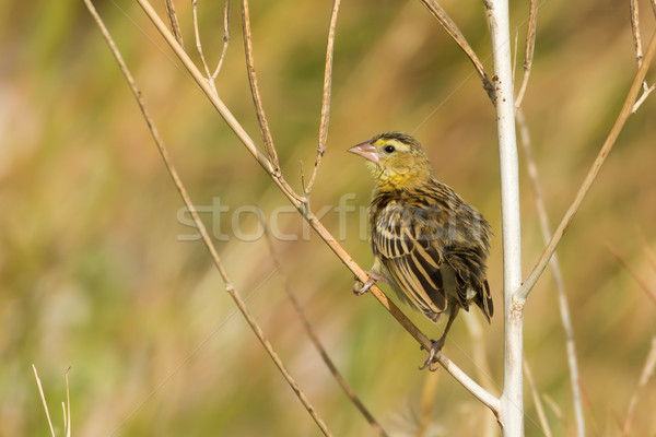 Weaver looking back over its shoulder Stock photo © davemontreuil