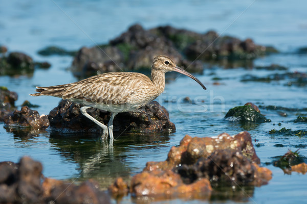 Whimbrel wading through tide pools. Stock photo © davemontreuil